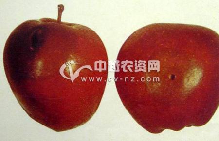 苹果链格孢烂果病