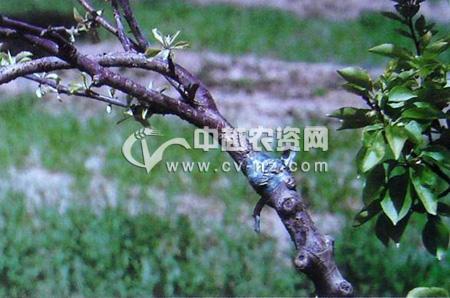 苹果树衰退病