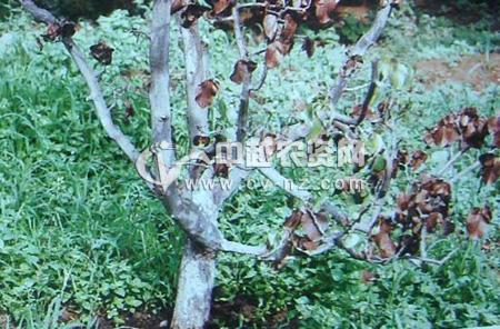 苹果树假蜜环菌根朽病