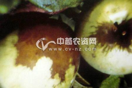 苹果果锈病