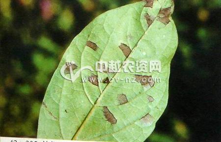柿假尾孢角斑病