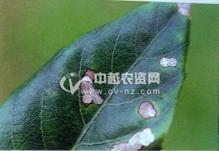 枇杷拟盘多毛孢灰斑病