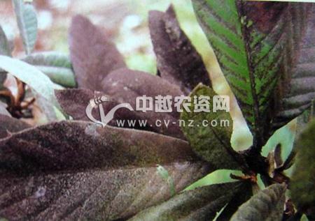 橄榄 樱桃更多>> 樱桃穿孔性褐斑病 杨梅更多>> 桃更多>> 桃树