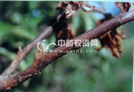 梨树枝枯病