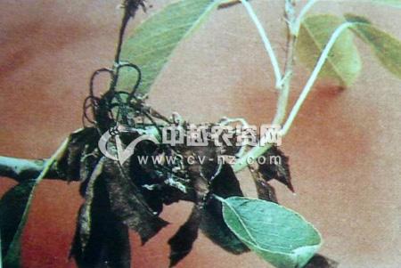 梨树细菌性花腐病