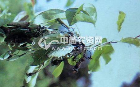 梨树火疫病