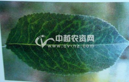 梨树脉黄病毒病