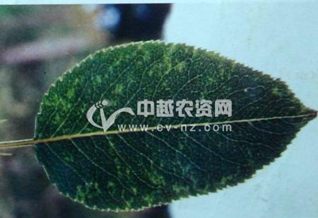 梨树环纹花叶病