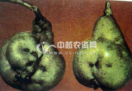 梨石果病毒病