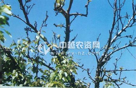梨树衰退病