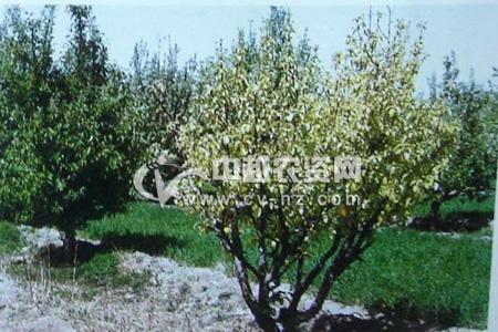 梨树缺铁黄化病
