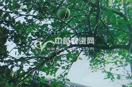 槲寄生为害柚树
