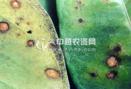 柑橘棒孢霉褐斑病