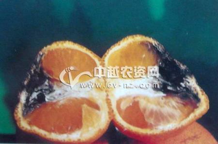 柑橘黑腐病