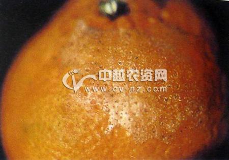 柑橘油斑病