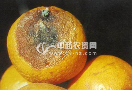 柑橘焦腐病
