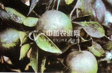 柑橘煤污病