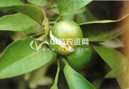 柑橘生理性裂果