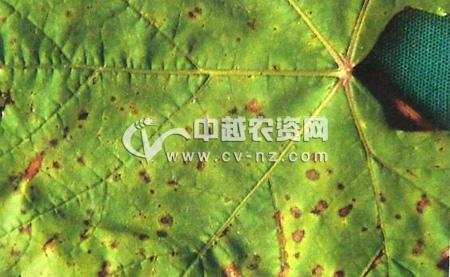 葡萄小褐斑病