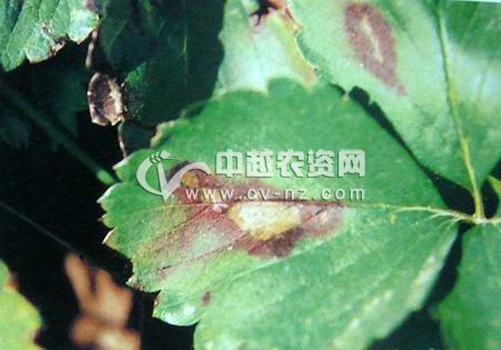 草莓灰斑病