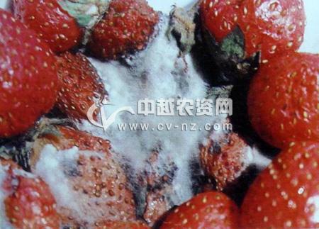 草莓根霉软腐病