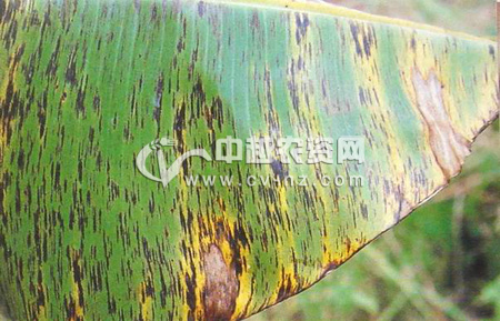 香蕉黑条叶斑病