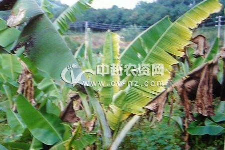 香蕉花叶心腐病