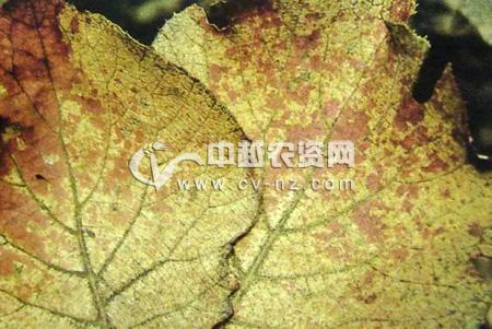 猕猴桃褐麻斑病