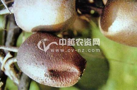 猕猴桃菌核病