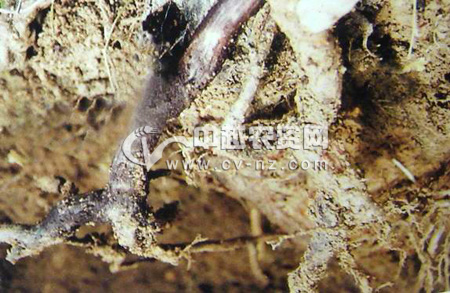 猕猴桃蜜环菌根腐病