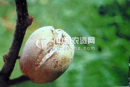 猕猴桃生理裂果病