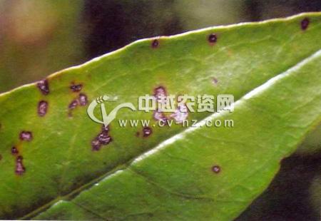 石榴假尾孢褐斑病