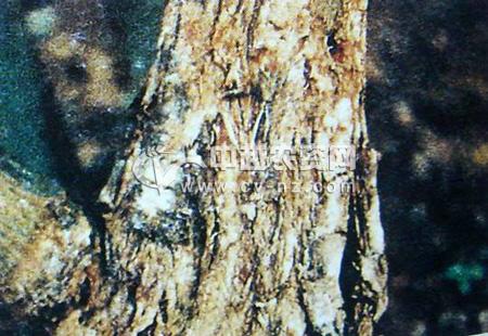 西番莲茎腐病