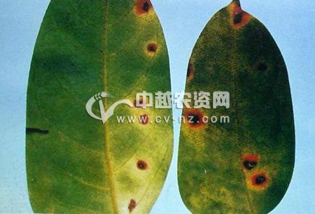 杨桃赤斑病