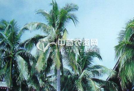 椰子芽腐病