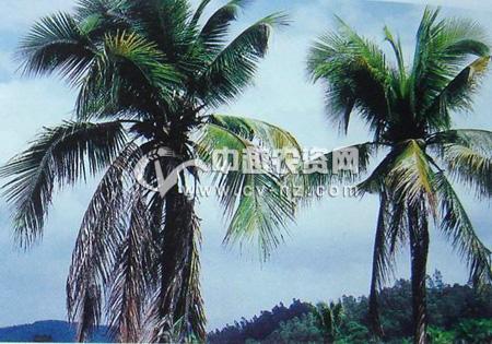 椰子灰斑病