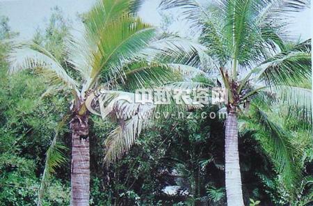 椰子致死性黄化病