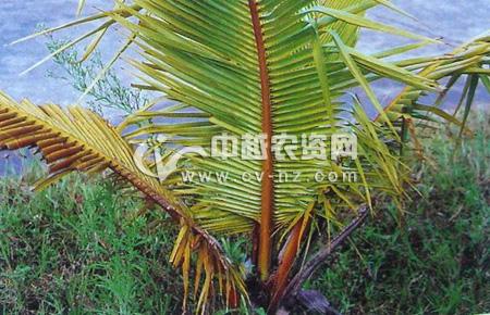 椰子红环病