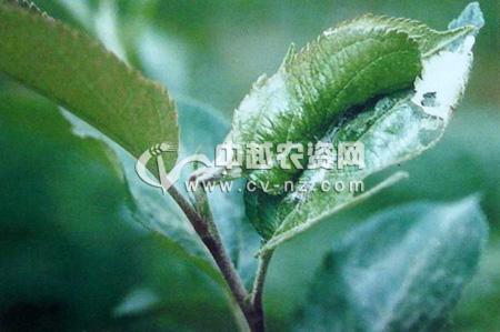 苹果小卷蛾
