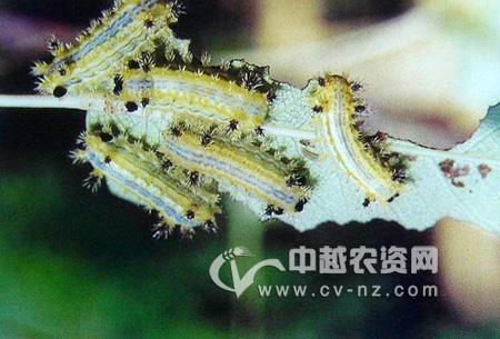 双齿绿刺蛾