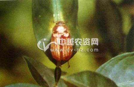 大栗鳃金龟