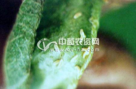 梨卷叶瘿蚊