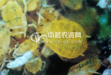 梨北京圆尾蚜