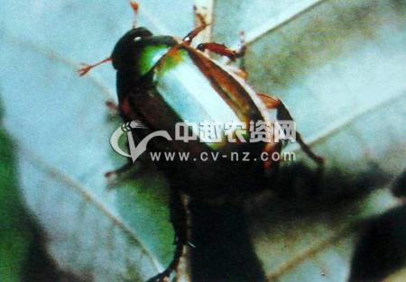 铜绿丽金龟