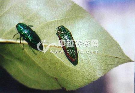 梨绿吉丁和梨金缘吉丁虫