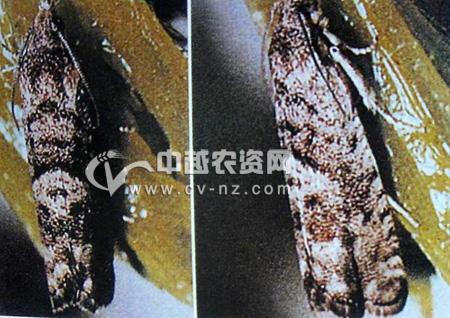 山楂超小卷蛾