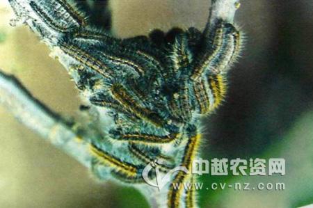 山楂绢粉蝶