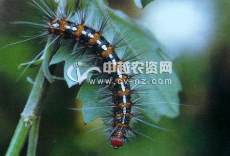 褐点粉灯蛾