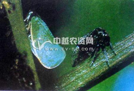 碧蛾蜡蝉和黑圆角蝉