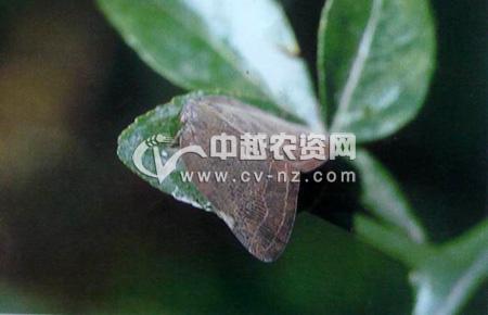 山东广翅蜡蝉